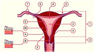 anatomia-endometrio
